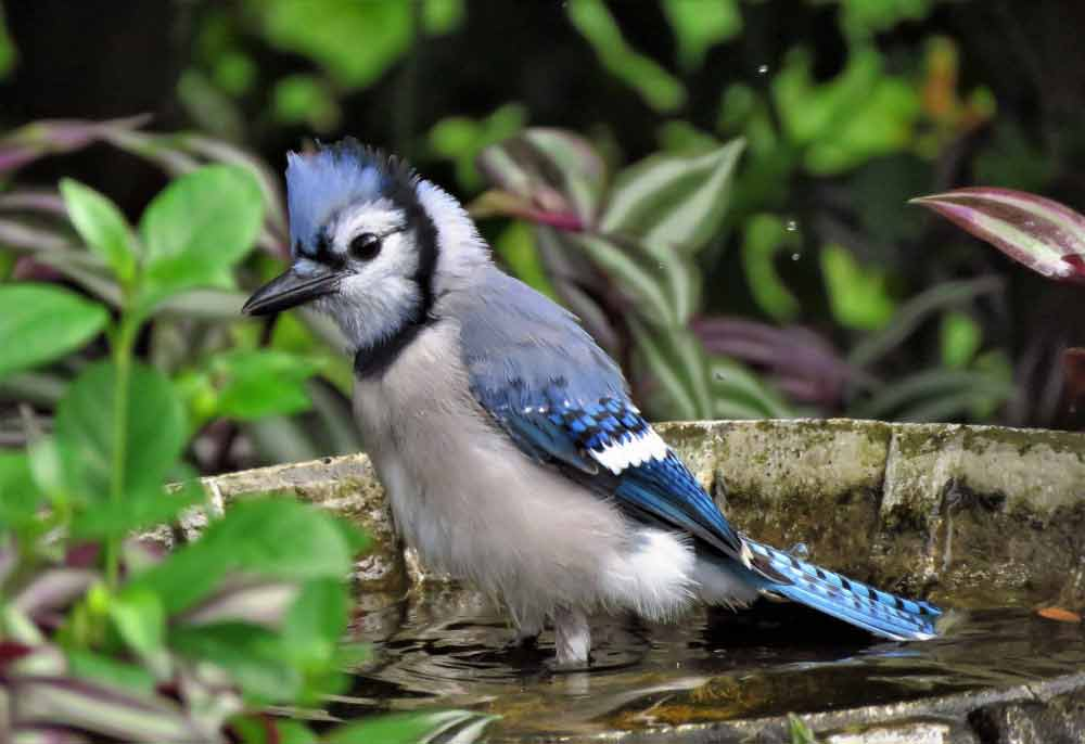 blue jay meaning