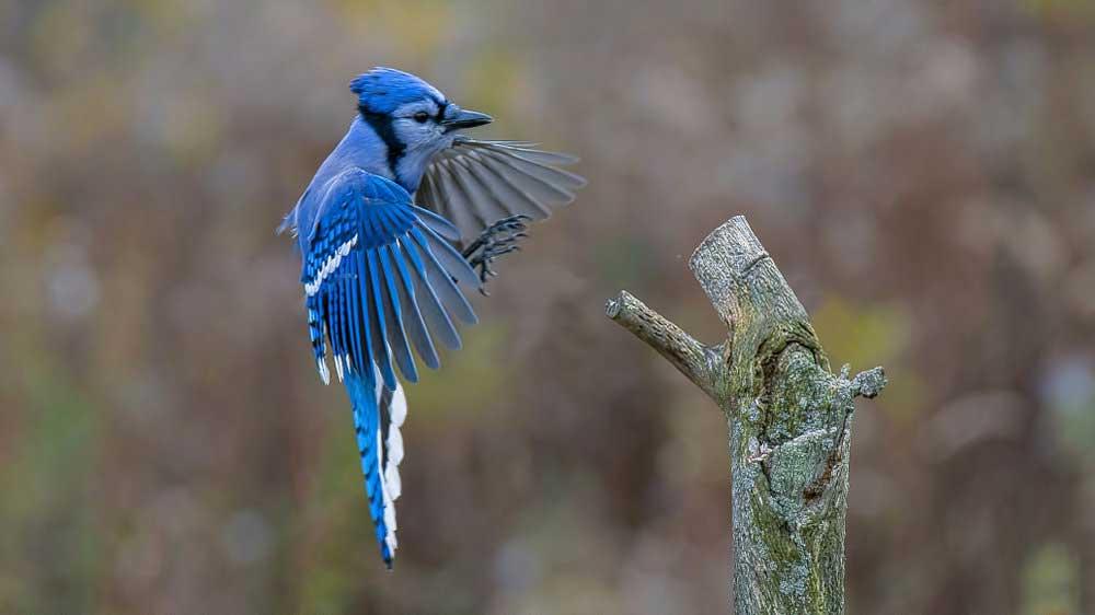 blue jay symbolism