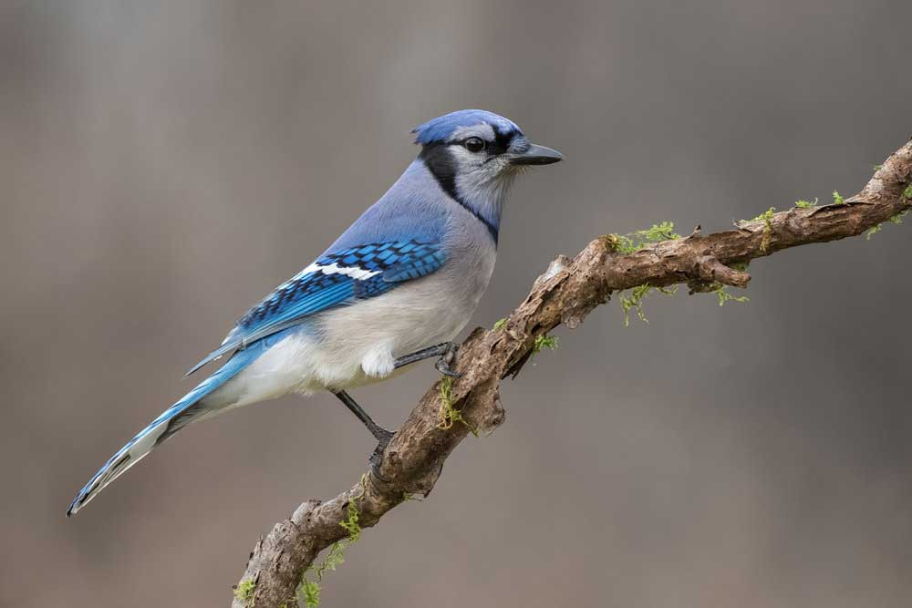 what does it mean when you see a blue jay