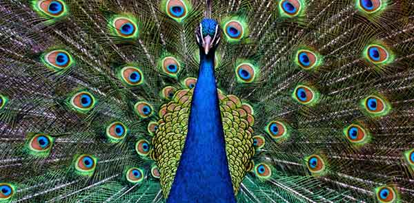 what-does-a-peacock-symbolize