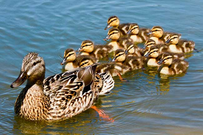 Dream about ducklings