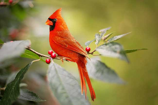seeing a cardinal meaning