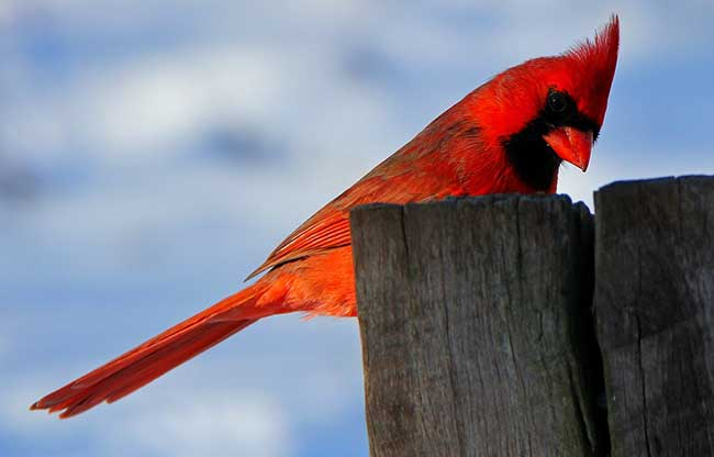 the spiritual meaning of a cardinal