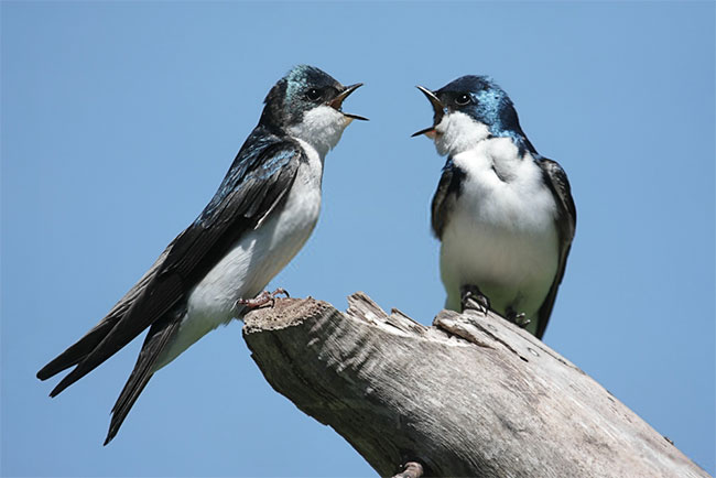 Pair of Swallows on a stump