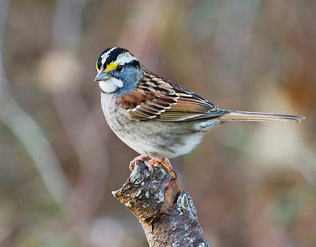 sparrow spirit animal
