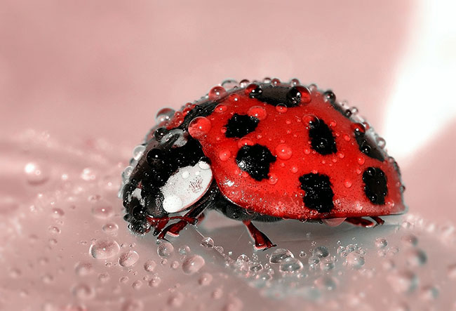 are ladybugs considered good luck