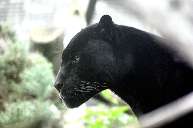 black panther in dream