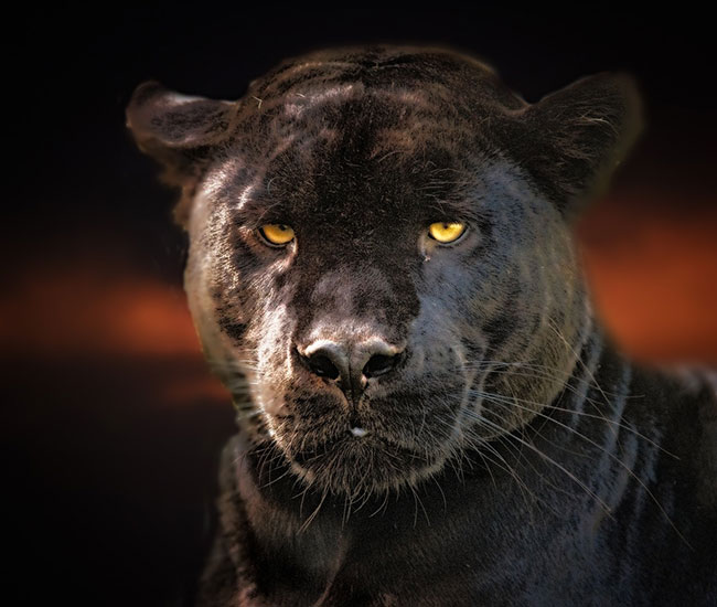 Black Panther as A Spirit Animal