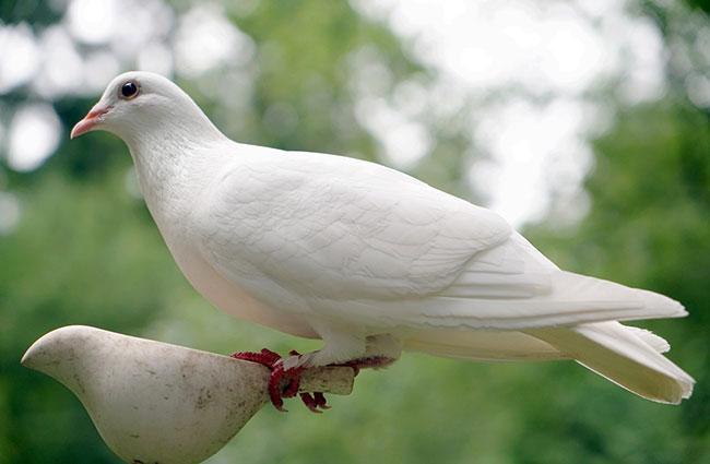 white dove spirit animal